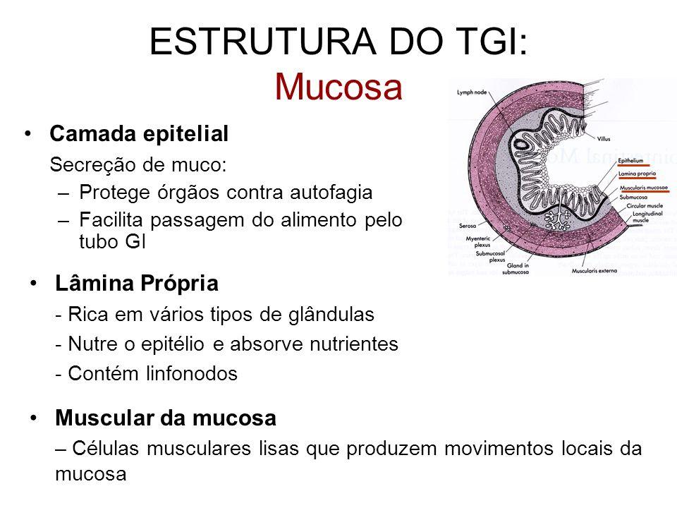 ESTRUTURA DO TGI: Mucosa Camada epitelial Secreção de muco: –Protege órgãos contra autofagia –Facilita passagem do alimento pelo tubo GI Lâmina Própri