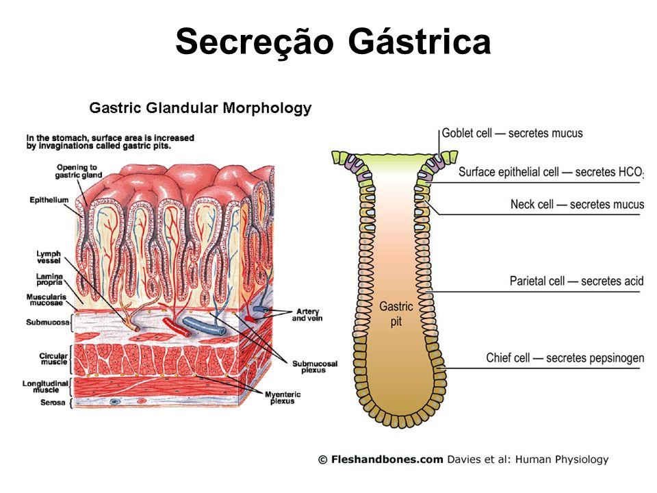 GLANDULAS PILÓRICAS Muco Gastrina GLÂNDULAS OXÍNTICAS OU GÁSTRICAS Muco HCl Fator Intrínseco Pepsinogênio Secreção Gástrica
