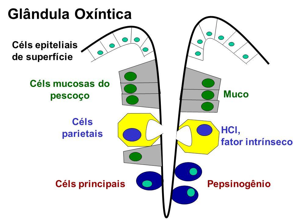 Glândula Pilórica Células G: gastrina Células mucosas do colo: muco e bicarbonato