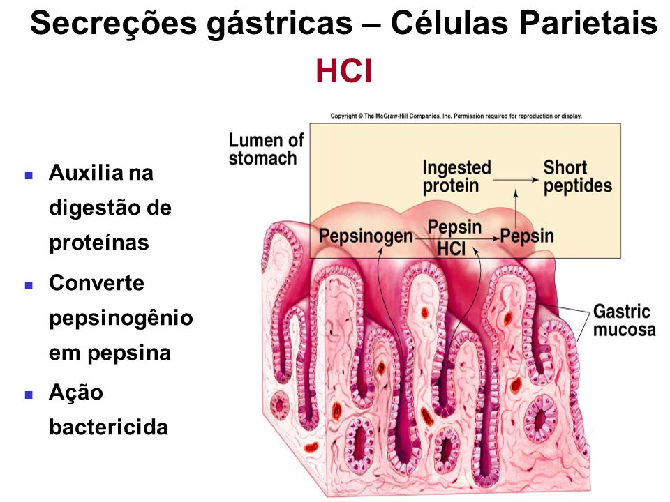 LUMEN OF GLAND Canaliculus Mitochondria Tubulovesicles Acid secretion Parietal cell - resting H+H+ Parietal cell - secreting Tubulovesicles fuse with canaliculus, increased surface area and numbers of H + K + ATPase increases acid secretion into lumen of gut.