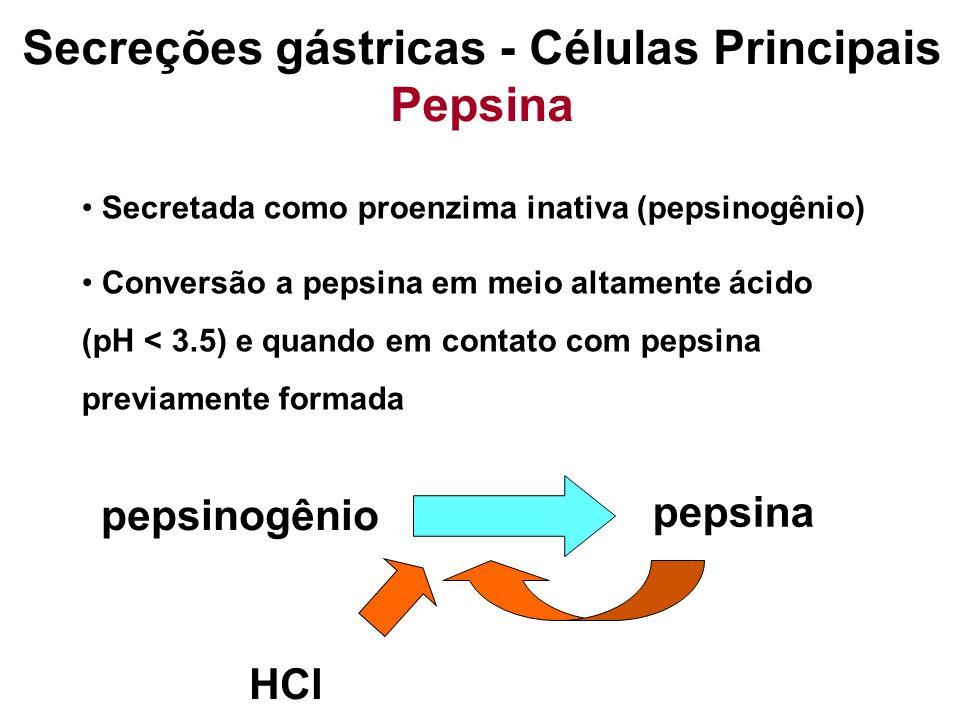 Capaz de digerir até 20 % da proteína de uma refeição Estímulos: Ach, presença de ácido na mucosa gástrica Secreções gástricas - Células Principais Pepsina