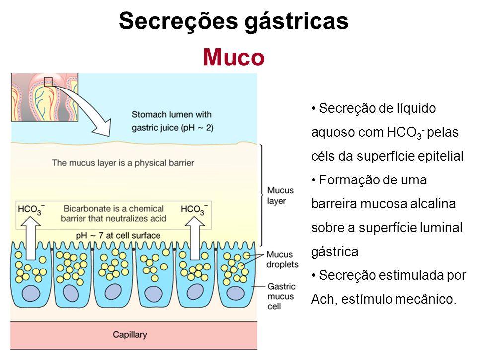 Células parietais e principais são impermeáveis ao HCl Junções fechadas entre células epiteliais adjacentes Células epiteliais danificadas são rapidamente substituídas (todo o epitélio pode ser reposto em 3 dias) Mecanismos protetores gástricos
