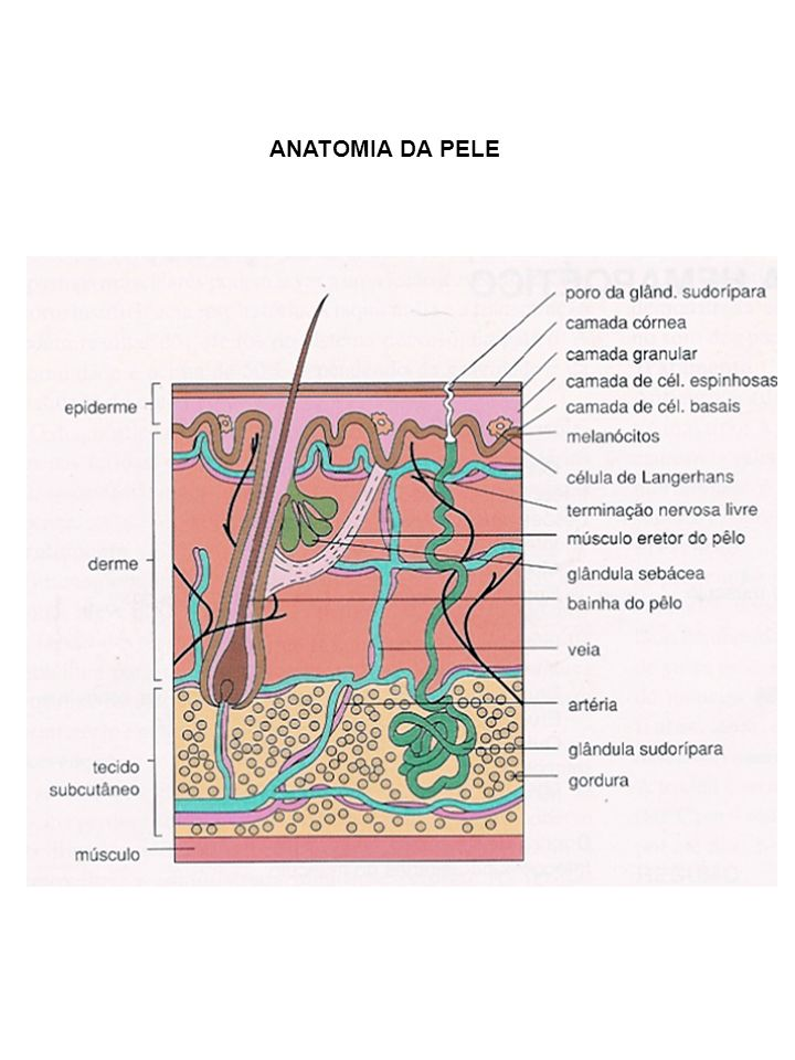 INFECÇÕES BACTERIANAS DA PELE A) SUPERFICIAIS: Atingem somente a epiderme B) PROFUNDAS: Comprometem derme e tecido celular subcutâneo IMPETIGO: Streptococcus pyogenes; Staphylococcus aureus FOLICULITE: S.