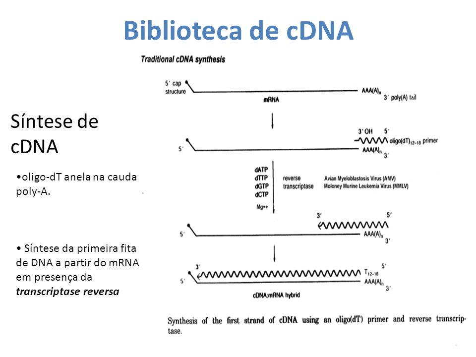Síntese de cDNA oligo-dT anela na cauda poly-A. Síntese da primeira fita de DNA a partir do mRNA em presença da transcriptase reversa Biblioteca de cD