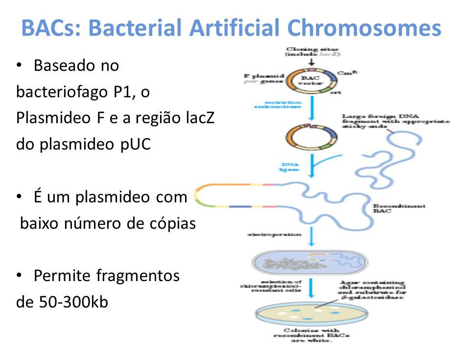 BACs: Bacterial Artificial Chromosomes Baseado no bacteriofago P1, o Plasmideo F e a região lacZ do plasmideo pUC É um plasmideo com baixo número de c