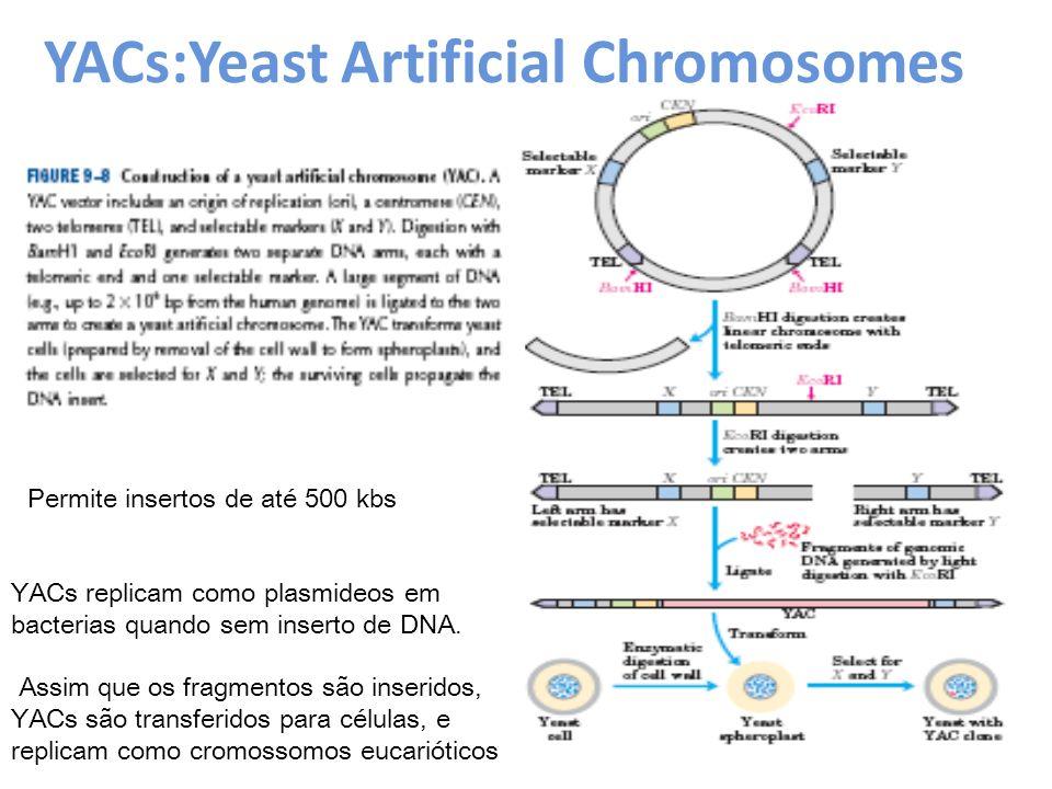 YACs:Yeast Artificial Chromosomes Permite insertos de até 500 kbs YACs replicam como plasmideos em bacterias quando sem inserto de DNA. Assim que os f