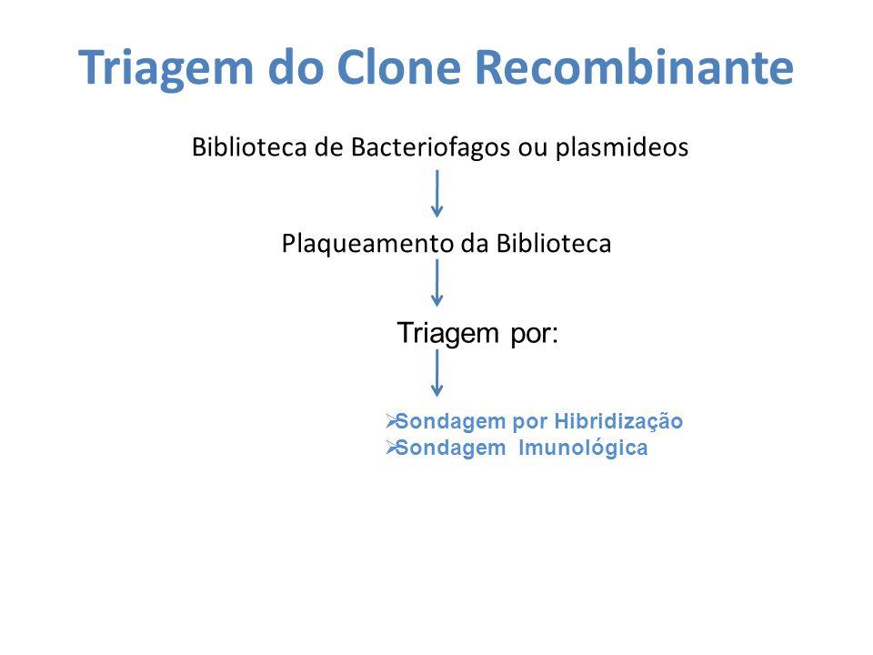 Triagem do Clone Recombinante Biblioteca de Bacteriofagos ou plasmideos Plaqueamento da Biblioteca Triagem por: Sondagem por Hibridização Sondagem Imu