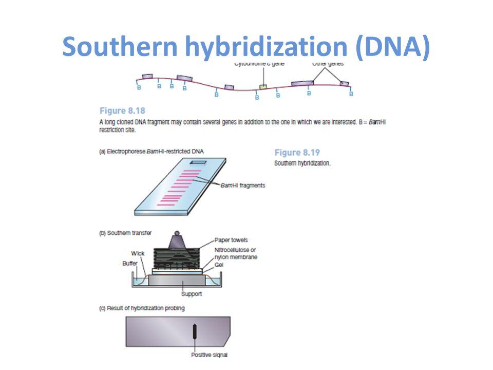 Southern hybridization (DNA)