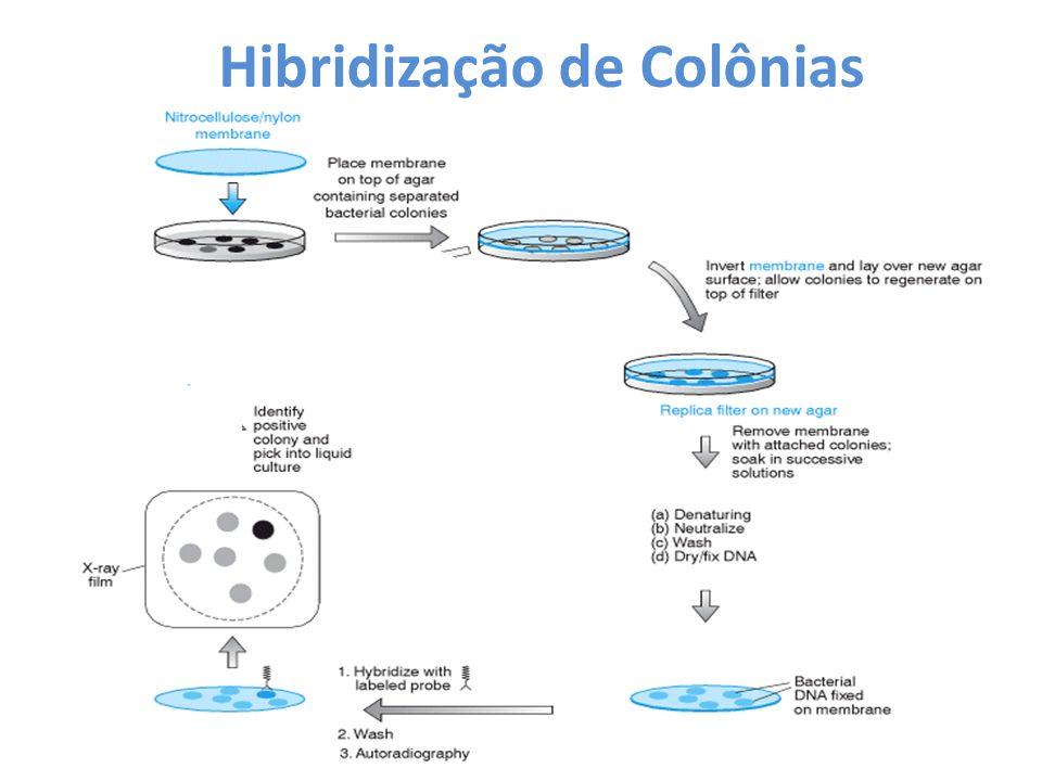 Hibridização de Colônias