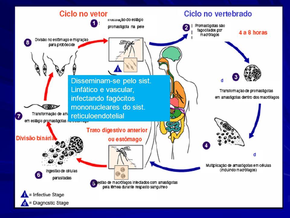 Disseminam-se pelo sist.Linfático e vascular, infectando fagócitos mononucleares do sist.