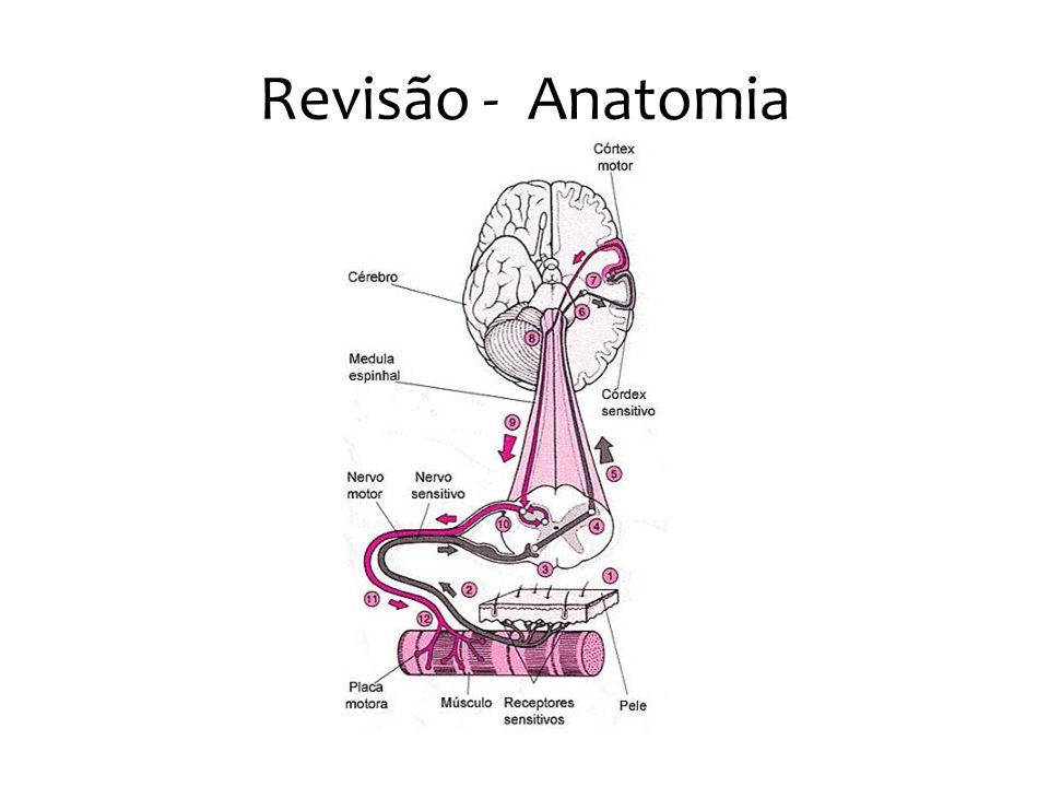 Revisão - Anatomia