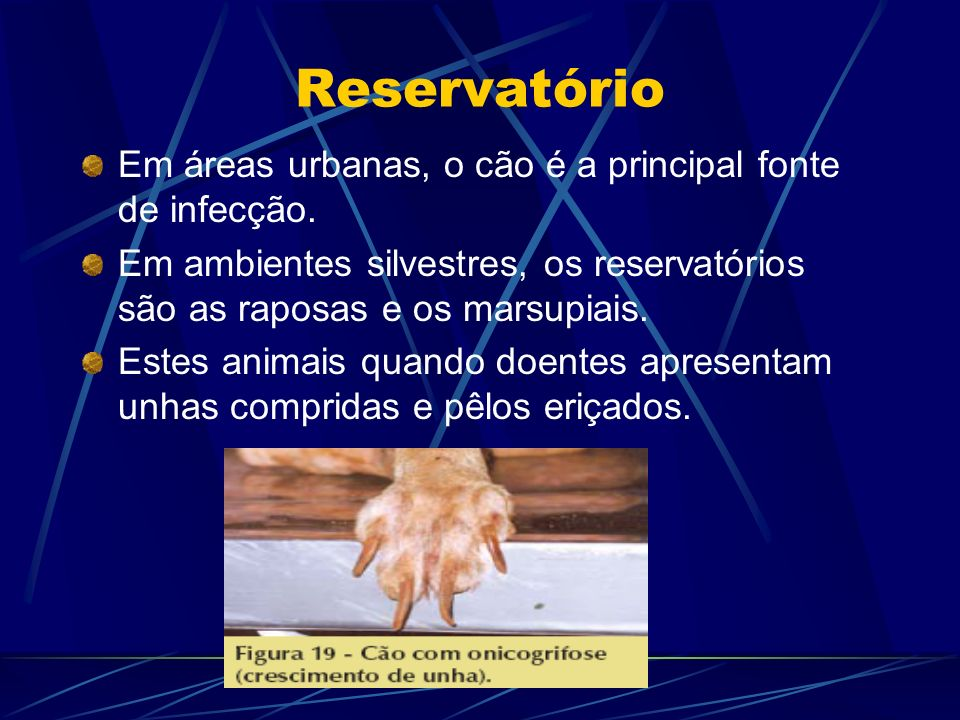 Reservatório Em áreas urbanas, o cão é a principal fonte de infecção. Em ambientes silvestres, os reservatórios são as raposas e os marsupiais. Estes