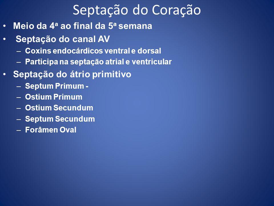 Septação do Coração Meio da 4 a ao final da 5 a semana Septação do canal AV –Coxins endocárdicos ventral e dorsal –Participa na septação atrial e vent