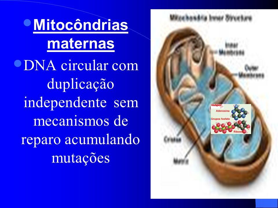 Mitocôndrias maternas DNA circular com duplicação independente sem mecanismos de reparo acumulando mutações