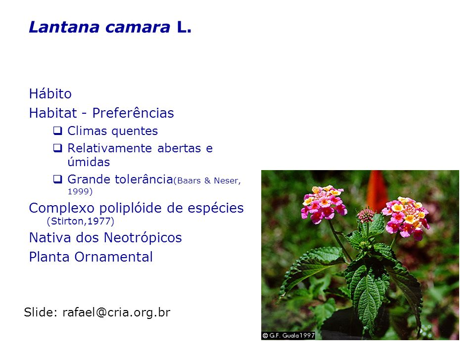 Lantana camara L. Hábito Habitat - Preferências Climas quentes Relativamente abertas e úmidas Grande tolerância (Baars & Neser, 1999) Complexo polipló