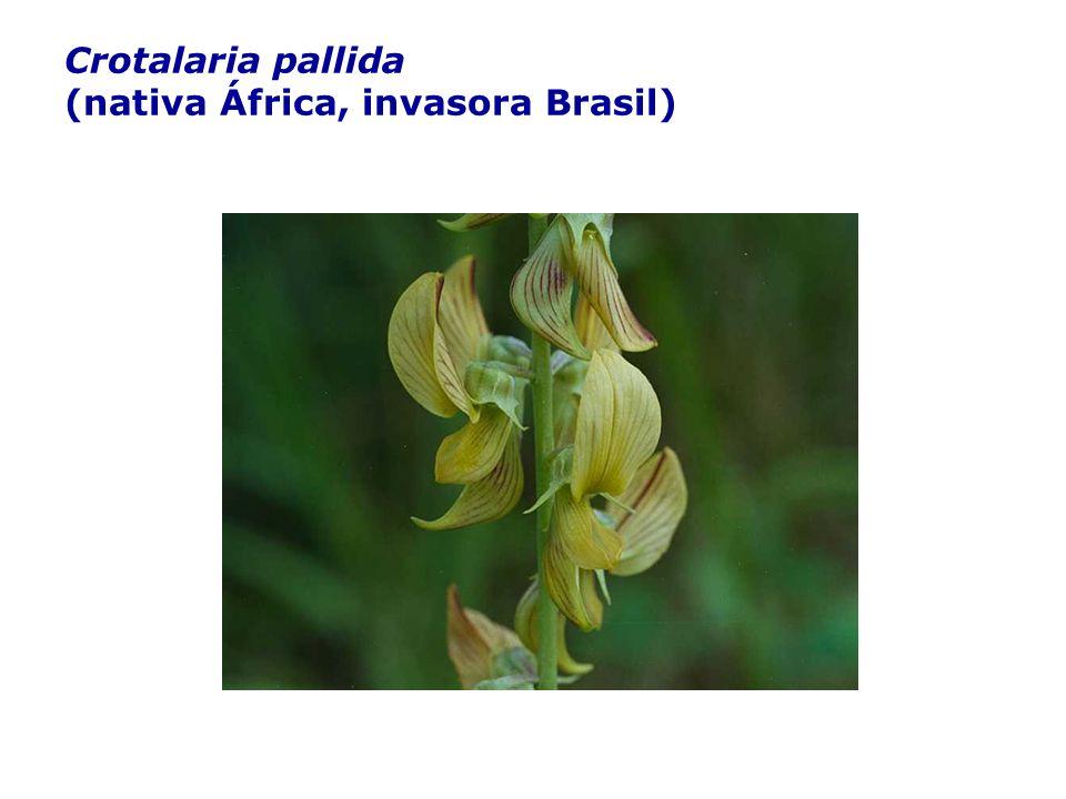 Crotalaria pallida (nativa África, invasora Brasil)