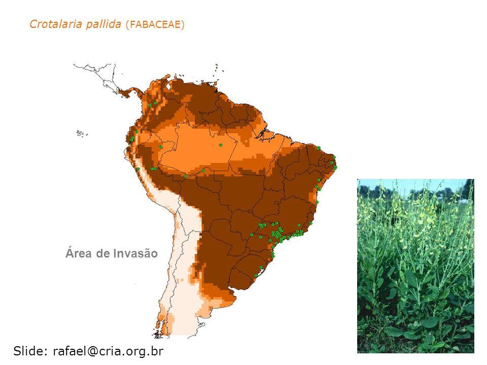 Crotalaria pallida (FABACEAE) Área de Invasão Slide: rafael@cria.org.br