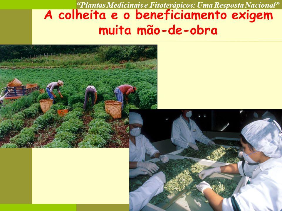 Plantas Medicinais e Fitoterápicos: Uma Resposta Nacional COP 8 A colheita e o beneficiamento exigem muita mão-de-obra
