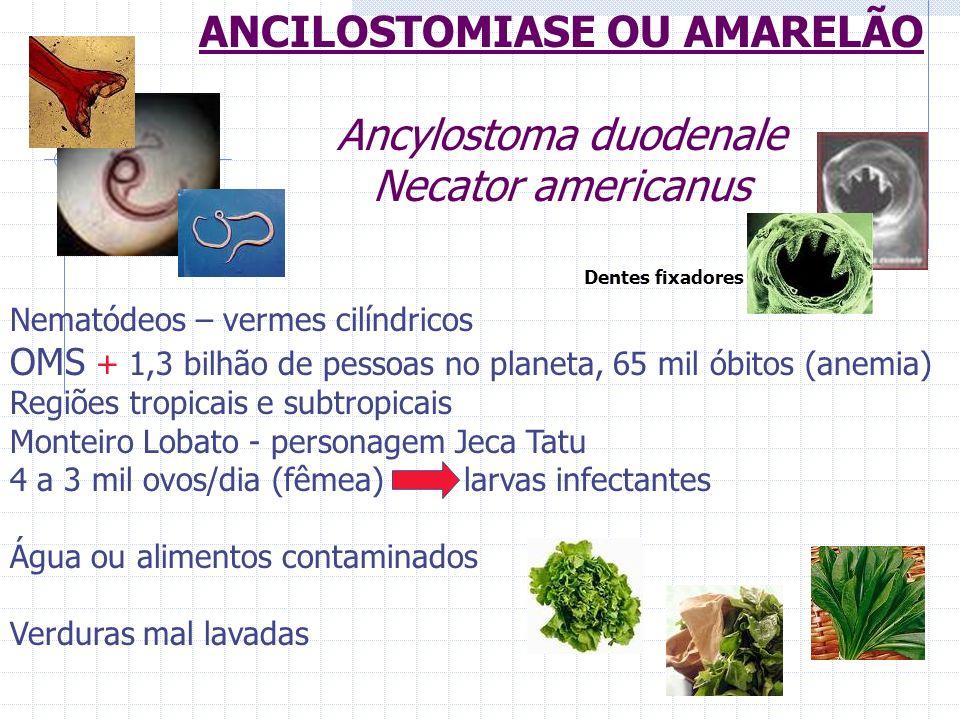 ANCILOSTOMIASE OU AMARELÃO Ancylostoma duodenale Necator americanus Nematódeos – vermes cilíndricos OMS + 1,3 bilhão de pessoas no planeta, 65 mil óbi