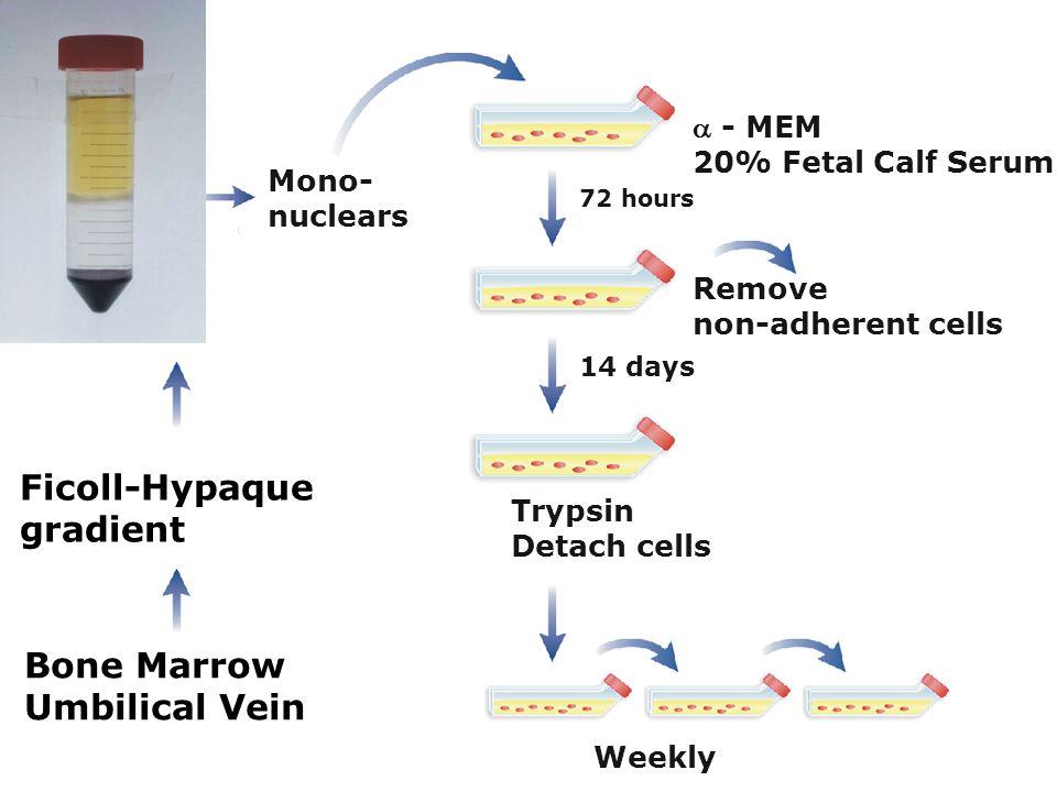 - MEM 20% Fetal Calf Serum Mono- nuclears Bone Marrow Umbilical Vein Ficoll-Hypaque gradient Weekly Trypsin Detach cells 14 days 72 hours Remove non-a