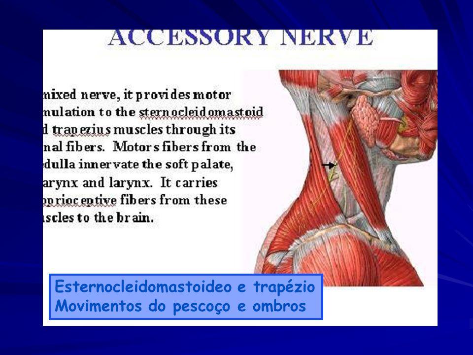 Esternocleidomastoideo e trapézio Movimentos do pescoço e ombros