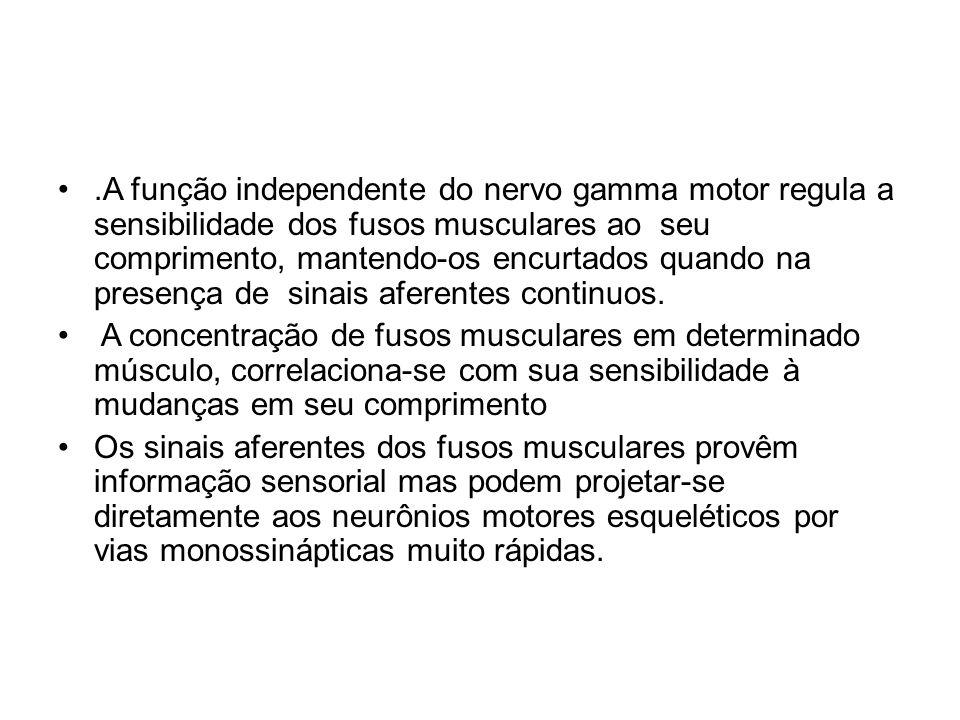 .A função independente do nervo gamma motor regula a sensibilidade dos fusos musculares ao seu comprimento, mantendo-os encurtados quando na presença
