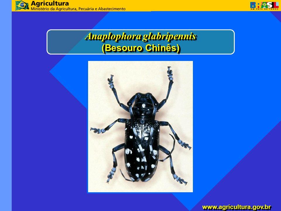www.agricultura.gov.brwww.agricultura.gov.br Anaplophora glabripennis (Besouro Chinês) Anaplophora glabripennis (Besouro Chinês)