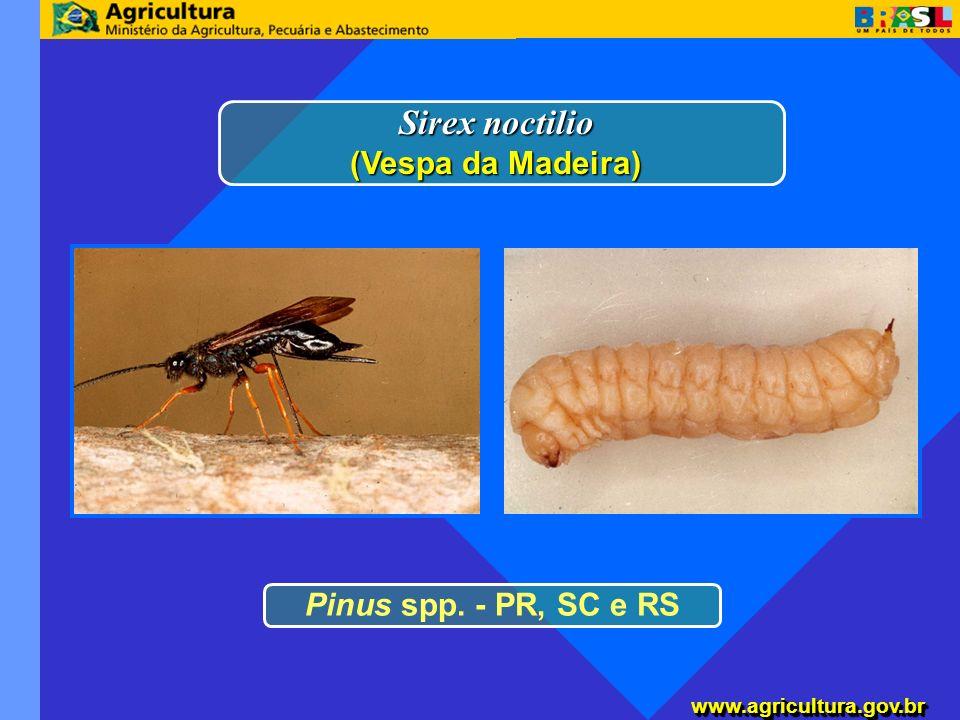 www.agricultura.gov.brwww.agricultura.gov.br Pinus spp. - PR, SC e RS Sirex noctilio (Vespa da Madeira)