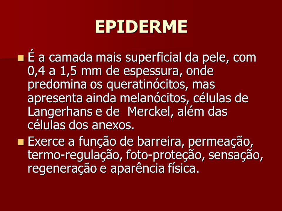EPIDERME É a camada mais superficial da pele, com 0,4 a 1,5 mm de espessura, onde predomina os queratinócitos, mas apresenta ainda melanócitos, célula