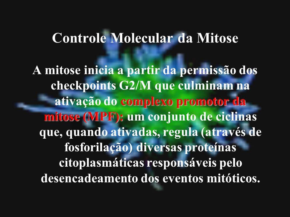 Controle Molecular da Mitose complexo promotor da mitose (MPF): A mitose inicia a partir da permissão dos checkpoints G2/M que culminam na ativação do
