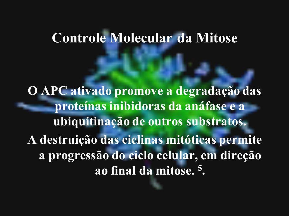 Controle Molecular da Mitose O APC ativado promove a degradação das proteínas inibidoras da anáfase e a ubiquitinação de outros substratos. A destruiç