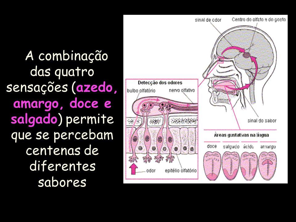 AS PAPILAS LINGUAIS Receptores gustativos – na cavidade bucal, no dorso da língua, na epiglote, na parede posterior da orofaringe e no palato. Botões