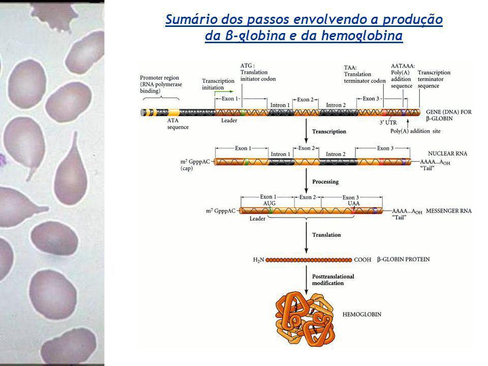 Sumário dos passos envolvendo a produção da β-globina e da hemoglobina