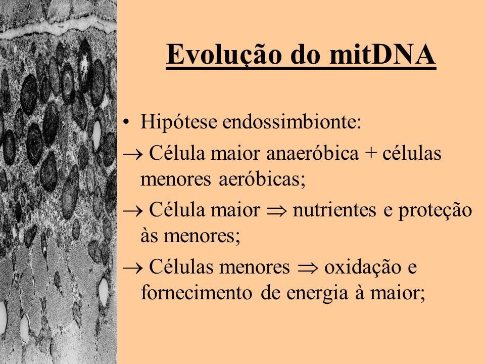 Evolução do mitDNA Hipótese endossimbionte: Célula maior anaeróbica + células menores aeróbicas; Célula maior nutrientes e proteção às menores; Célula