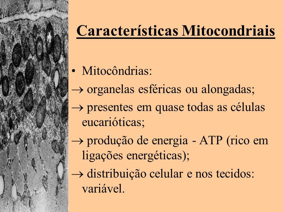 Características Mitocondriais Mitocôndrias: organelas esféricas ou alongadas; presentes em quase todas as células eucarióticas; produção de energia -