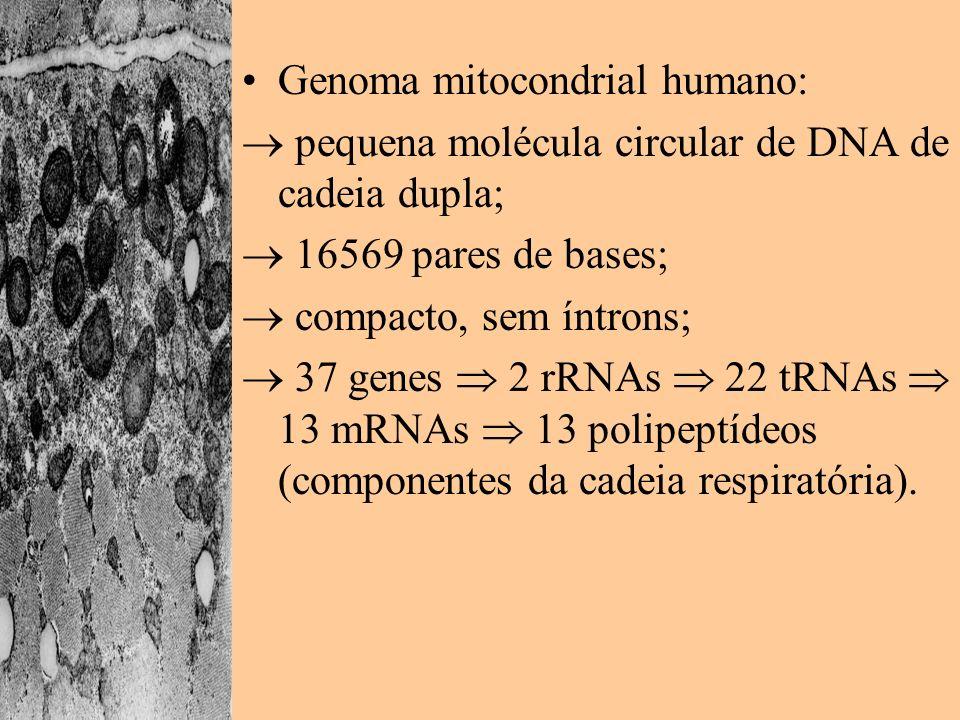 Função celular e função mitocondrial: –interdependentes; –mais de 100 proteínas codificadas no núcleo são necessárias para manter o mitDNA e expressar os produtos de seus genes.