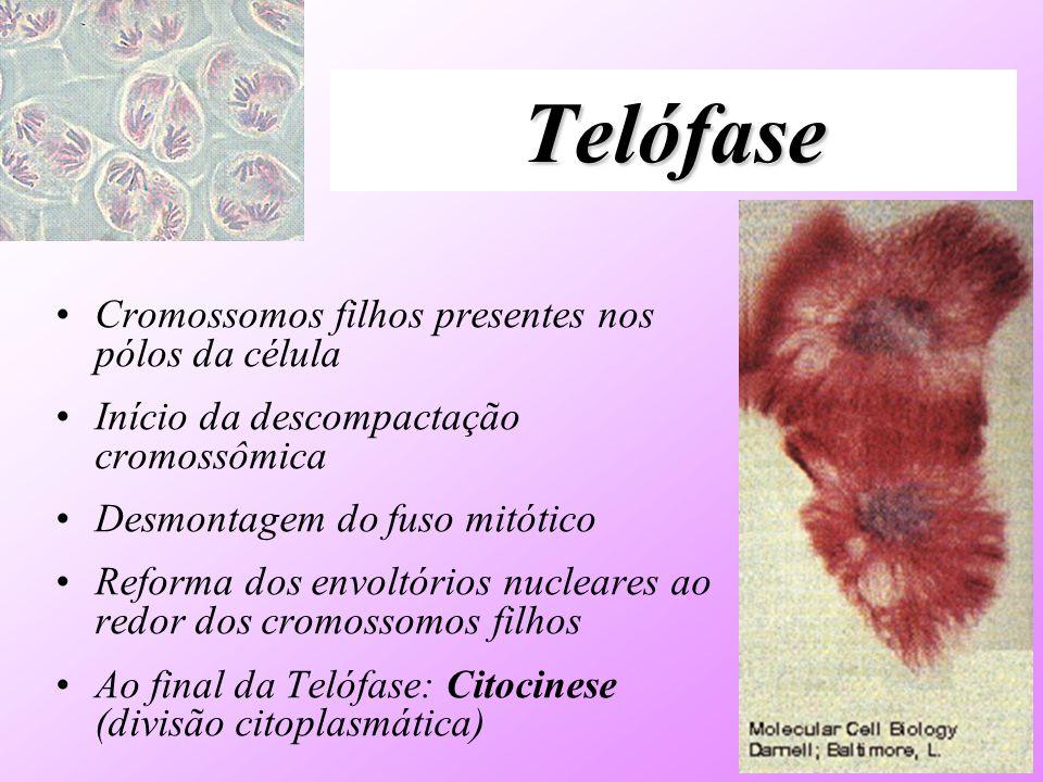 Telófase Cromossomos filhos presentes nos pólos da célula Início da descompactação cromossômica Desmontagem do fuso mitótico Reforma dos envoltórios n