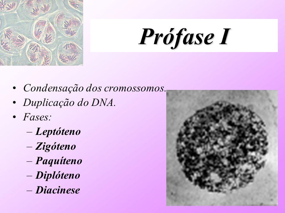 Prófase I Condensação dos cromossomos. Duplicação do DNA. Fases: –Leptóteno –Zigóteno –Paquíteno –Diplóteno –Diacinese