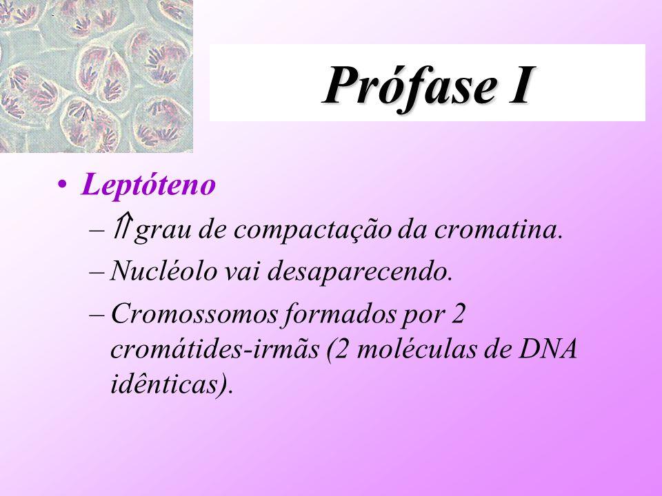 Prófase I Leptóteno – grau de compactação da cromatina. –Nucléolo vai desaparecendo. –Cromossomos formados por 2 cromátides-irmãs (2 moléculas de DNA