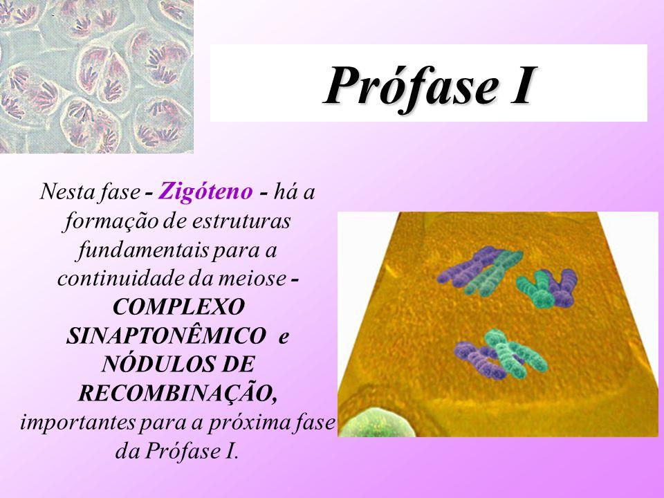 Prófase I Nesta fase - Zigóteno - há a formação de estruturas fundamentais para a continuidade da meiose - COMPLEXO SINAPTONÊMICO e NÓDULOS DE RECOMBI