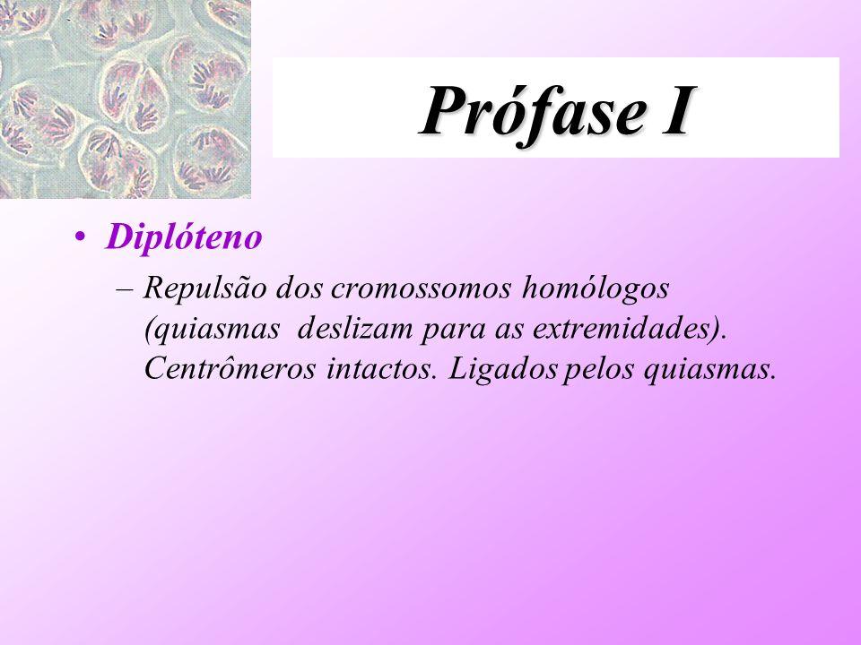 Prófase I Diplóteno –Repulsão dos cromossomos homólogos (quiasmas deslizam para as extremidades). Centrômeros intactos. Ligados pelos quiasmas.