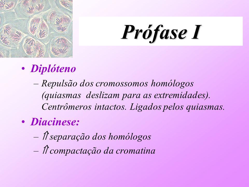 Prófase I Diplóteno –Repulsão dos cromossomos homólogos (quiasmas deslizam para as extremidades). Centrômeros intactos. Ligados pelos quiasmas. Diacin