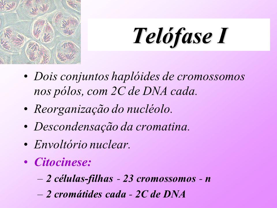 Telófase I Dois conjuntos haplóides de cromossomos nos pólos, com 2C de DNA cada. Reorganização do nucléolo. Descondensação da cromatina. Envoltório n
