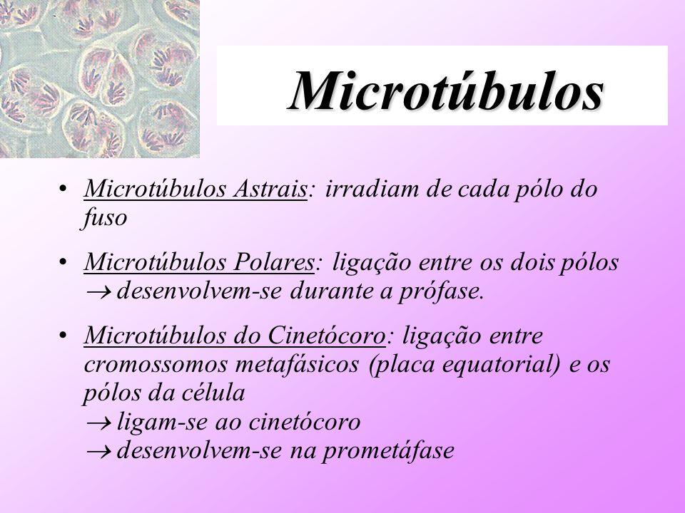 Microtúbulos Microtúbulos Astrais: irradiam de cada pólo do fuso Microtúbulos Polares: ligação entre os dois pólos desenvolvem-se durante a prófase. M