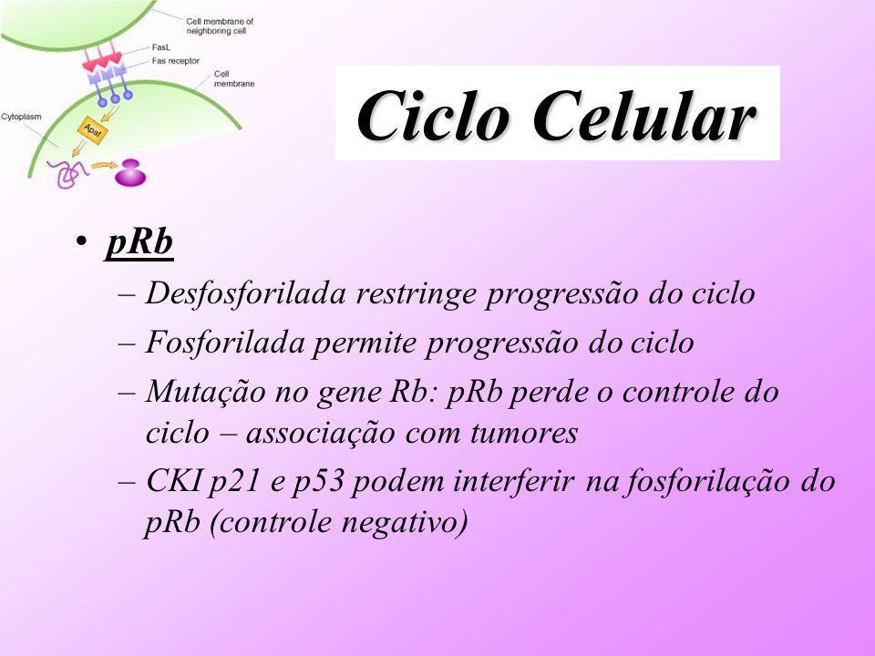 pRb –Desfosforilada restringe progressão do ciclo –Fosforilada permite progressão do ciclo –Mutação no gene Rb: pRb perde o controle do ciclo – associação com tumores –CKI p21 e p53 podem interferir na fosforilação do pRb (controle negativo)