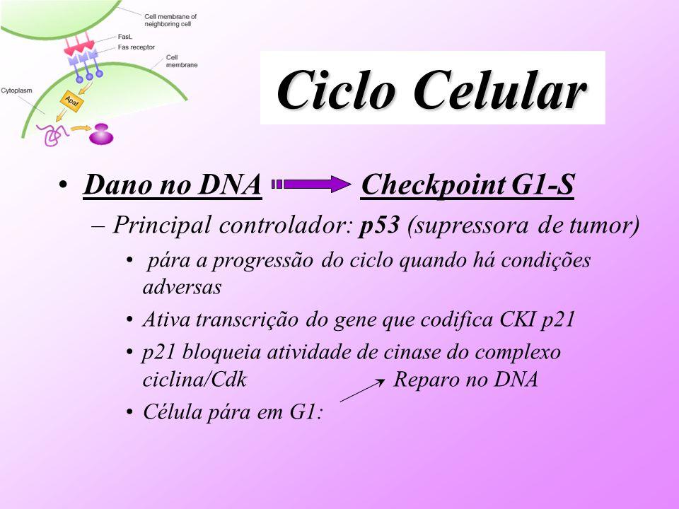 Ciclo Celular Dano no DNA Checkpoint G1-S –Principal controlador: p53 (supressora de tumor) pára a progressão do ciclo quando há condições adversas At