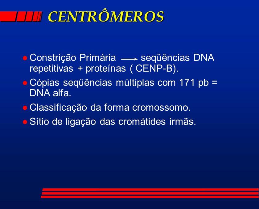 CENTRÔMEROS l Constrição Primária seqüências DNA repetitivas + proteínas ( CENP-B). l Cópias seqüências múltiplas com 171 pb = DNA alfa. l Classificaç