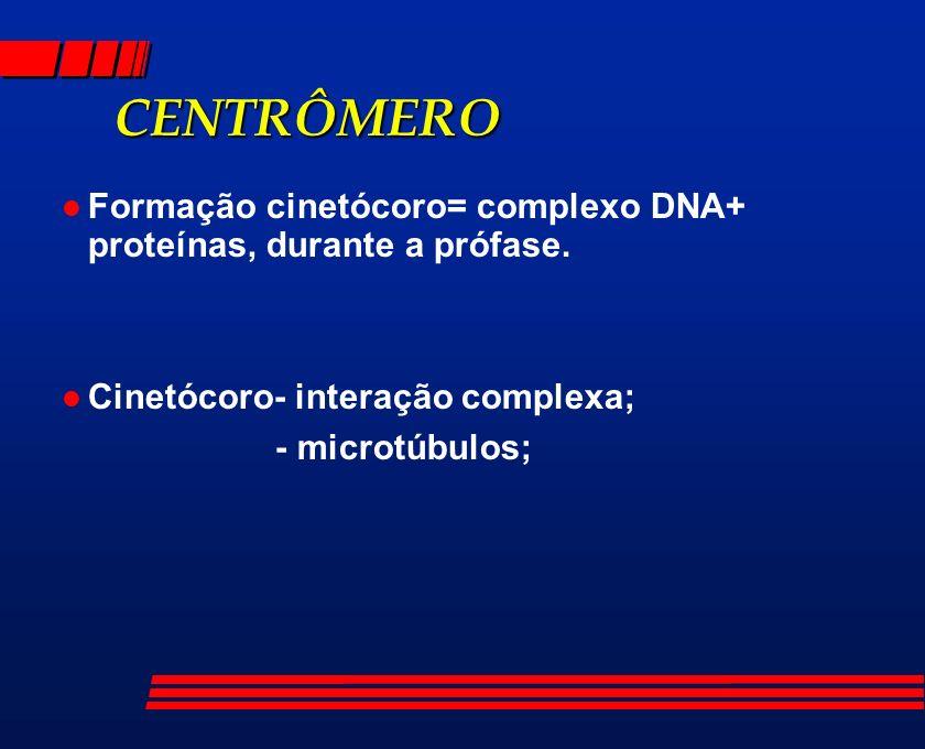 CENTRÔMERO l Formação cinetócoro= complexo DNA+ proteínas, durante a prófase. l Cinetócoro- interação complexa; - microtúbulos;