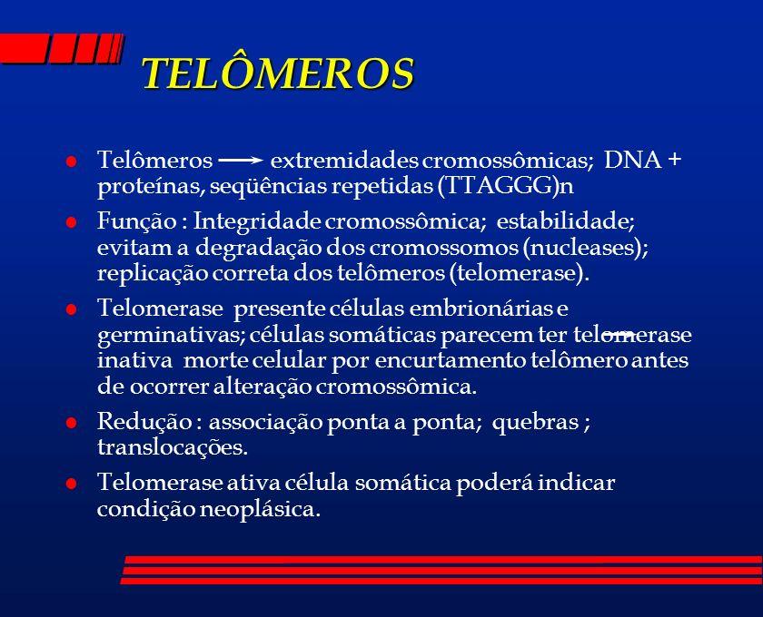 TELÔMEROS l Telômeros extremidades cromossômicas; DNA + proteínas, seqüências repetidas (TTAGGG)n l Função : Integridade cromossômica; estabilidade; e