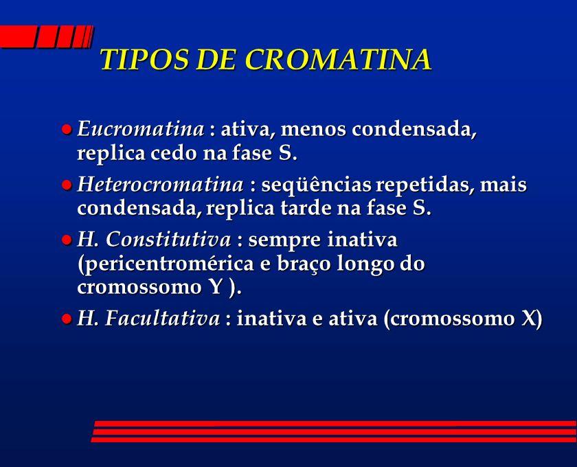 TIPOS DE CROMATINA l Eucromatina : ativa, menos condensada, replica cedo na fase S. l Heterocromatina : seqüências repetidas, mais condensada, replica